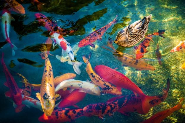 อาหารปลาคาร์พ Saiteki extreme growth
